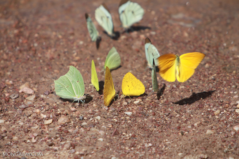 Yellow and light green butterflies [brazil_1522]