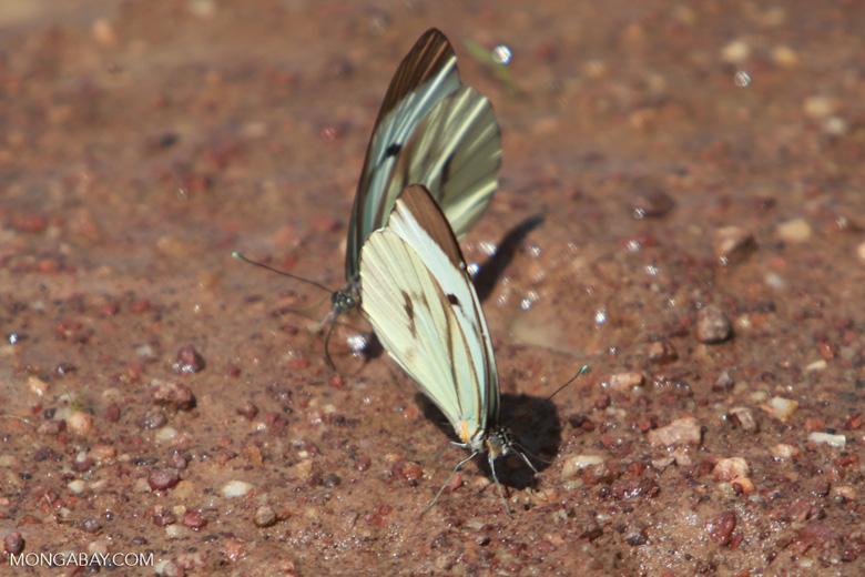 Light green butterflies [brazil_1523]