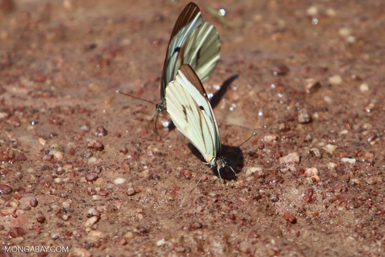 Light green butterflies [brazil_1525]