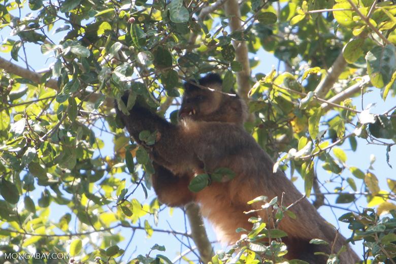 Brown capuchin monkey [brazil_1527]