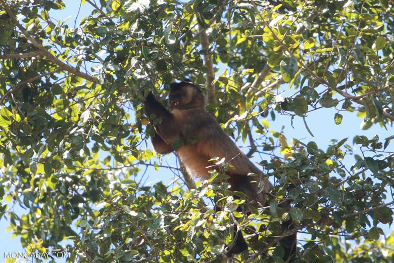 Brown capuchin monkey [brazil_1528]