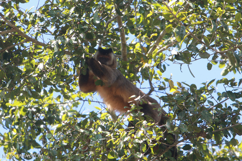 Brown capuchin monkey [brazil_1531]