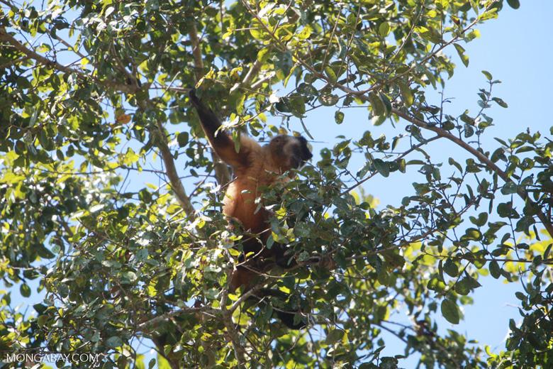 Brown capuchin monkey [brazil_1533]