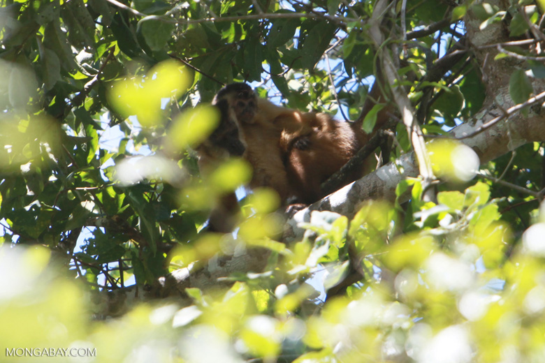 Mama brown capuchin monkey with a baby on her back [brazil_1535]