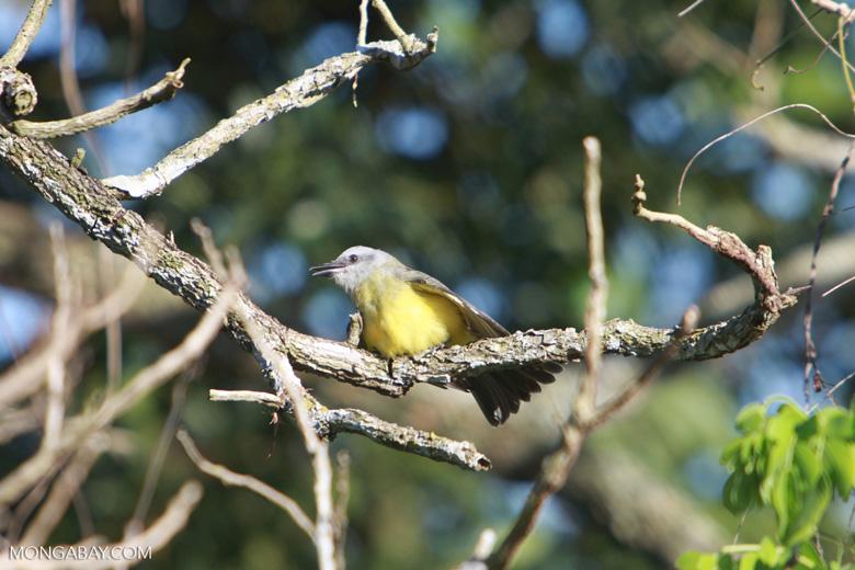 Bird [brazil_1539]