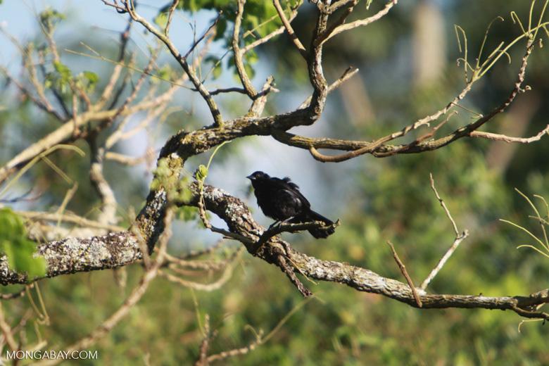 Bird [brazil_1541]
