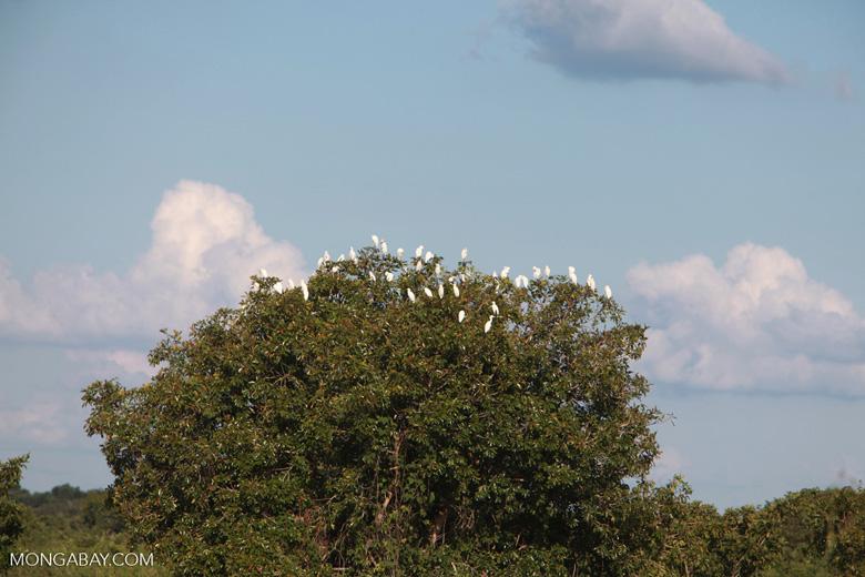 Cattle egret tree
