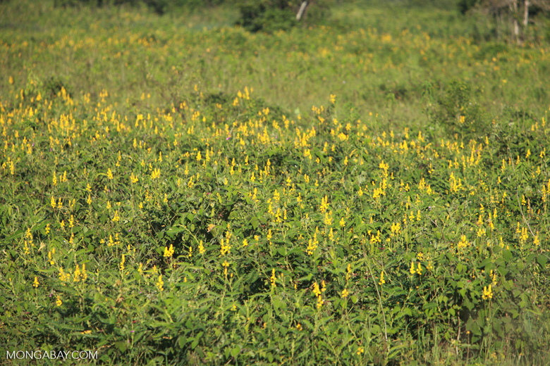 Yellow flowers [brazil_1545]