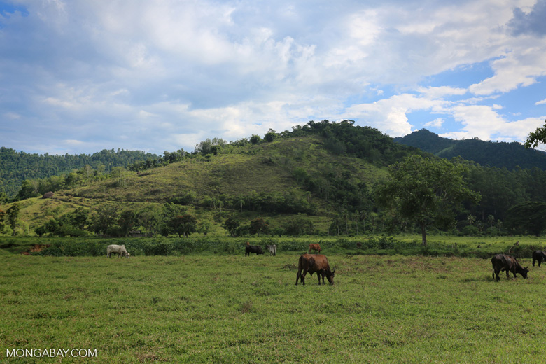 Cattle grazing on a deforested plain