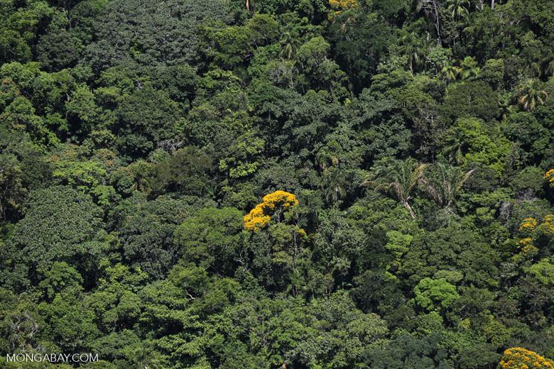 Yellow flowers in Brazil's Mata Atlantica [brazil_154839]