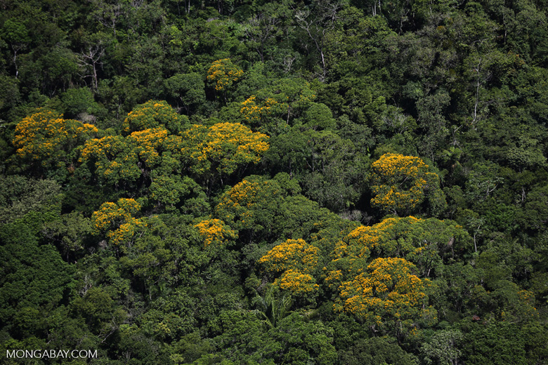 Yellow flowers in Brazil's Mata Atlantica