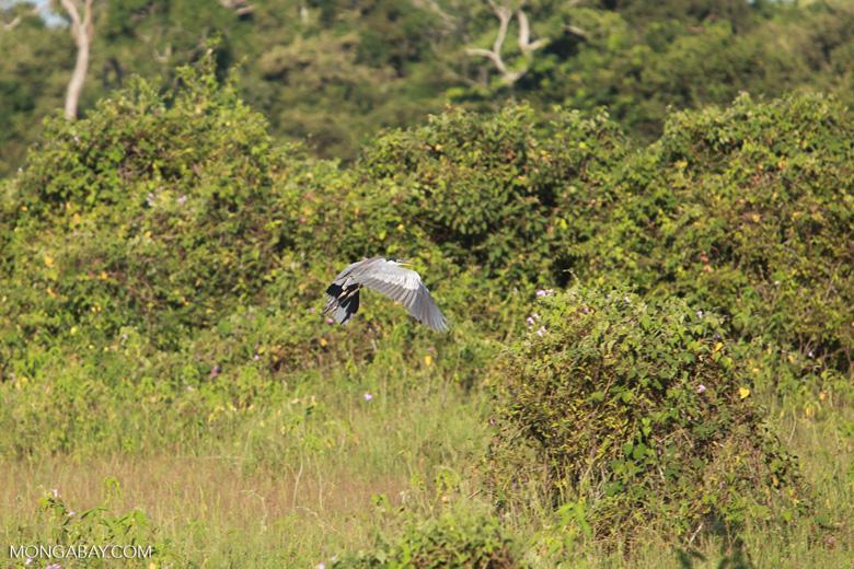 Cocoi Heron (Ardea cocoi) in flight [brazil_1550]
