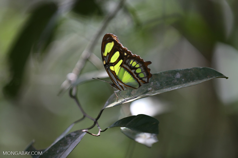 Butterfly [brazil_155085]