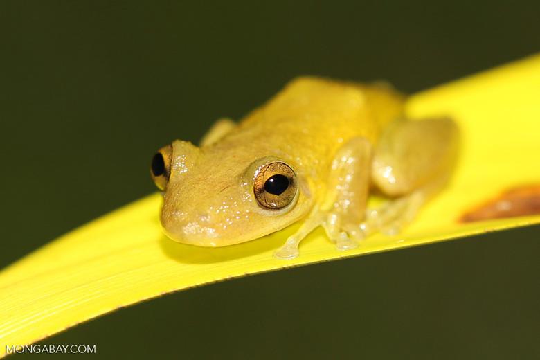 Frog [brazil_155311a]
