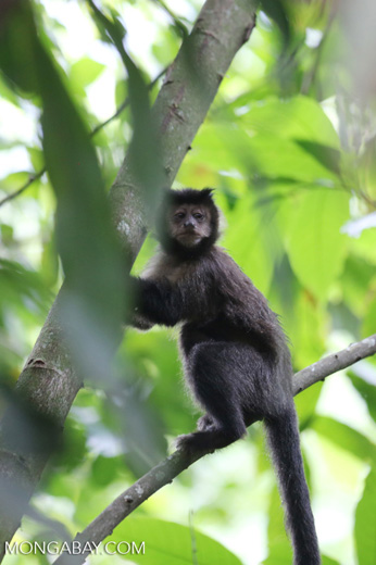 Brown capuchin monkey [brazil_155533]