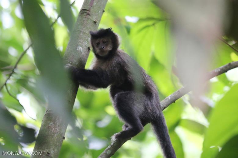 Brown capuchin monkey [brazil_155535]