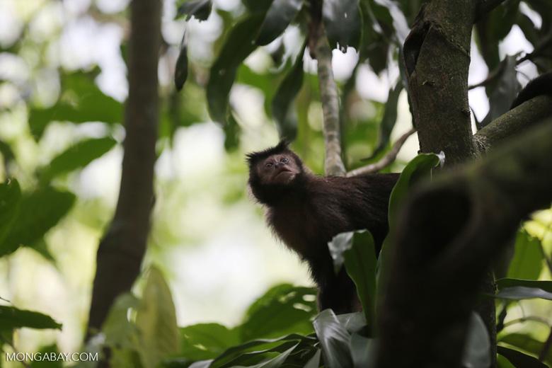 Brown capuchin monkey [brazil_155558]