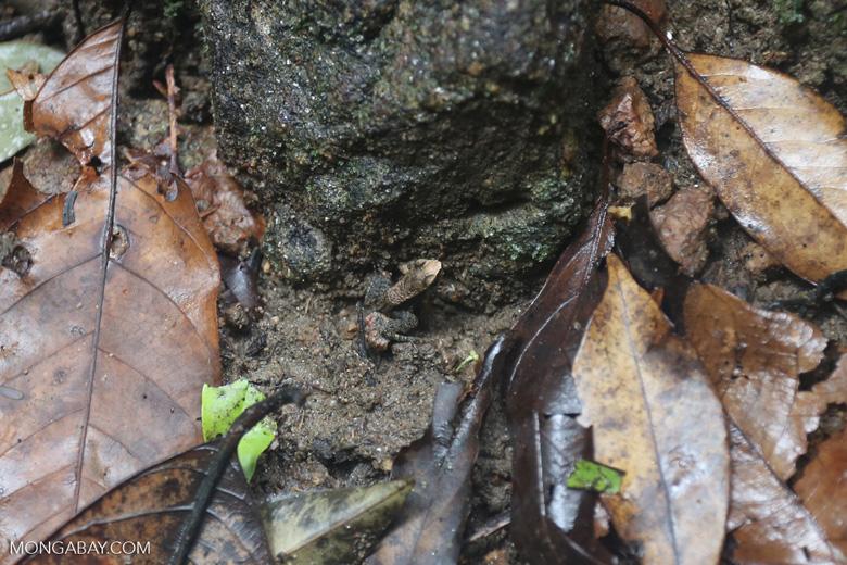 Frog [brazil_155718]