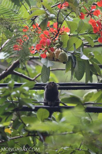 Common marmoset (Callithrix jacchus) [brazil_155832]