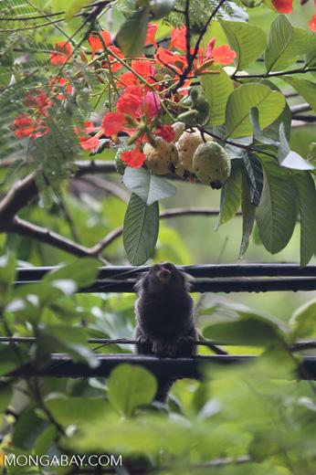 Common marmoset (Callithrix jacchus) [brazil_155835]