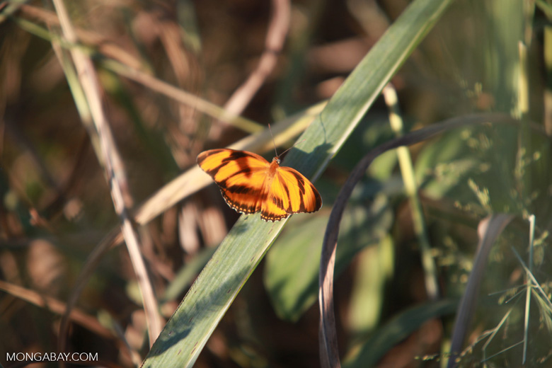 Orange and black butterfly [brazil_1560]