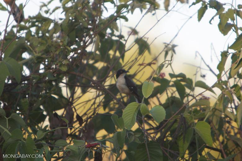 Black-capped Donacobius (Donacobius atricapilla) [brazil_1561]