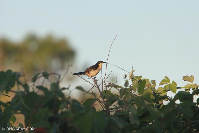 Black-capped Donacobius (Donacobius atricapilla) [brazil_1563]