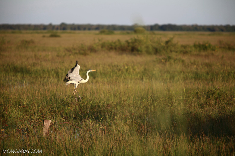 Cocoi Heron (Ardea cocoi) in flight