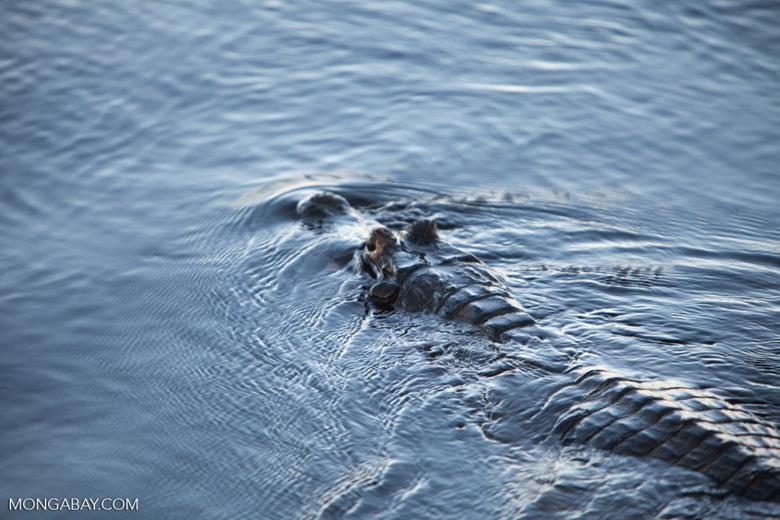 Black caiman swimming