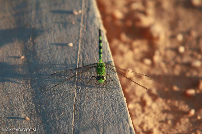 Green skimmer (family Libellulidae)