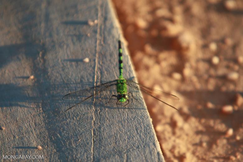 Green skimmer (family Libellulidae) [brazil_1574]