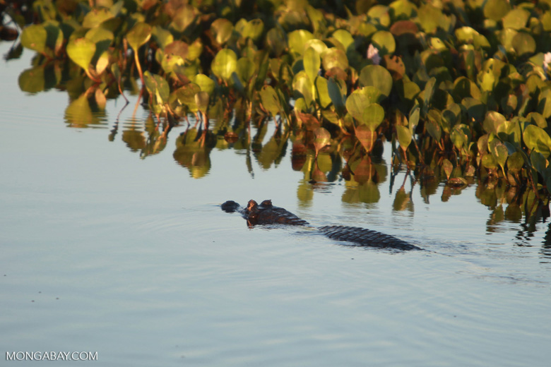 Black caiman swimming [brazil_1577]