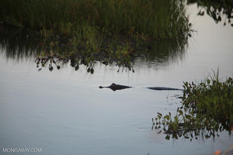 Black caiman [brazil_1582]