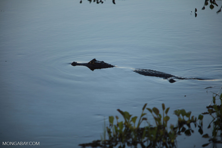 Black caiman [brazil_1585]