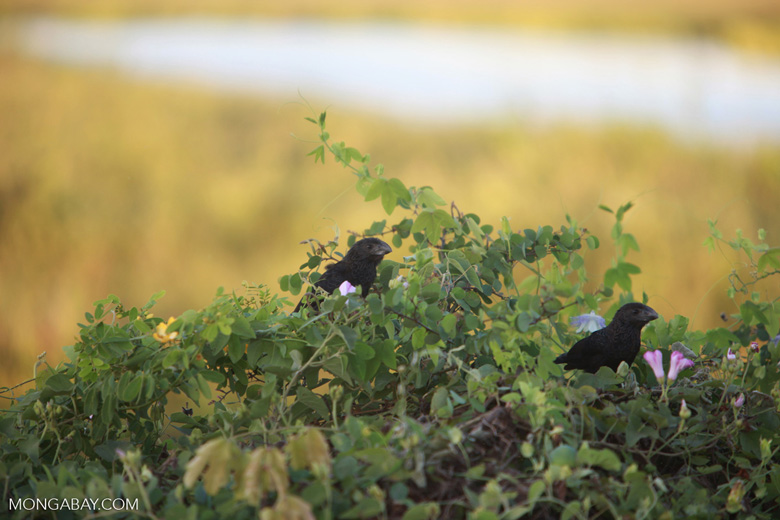 Smooth-billed Ani (Crotophaga ani)