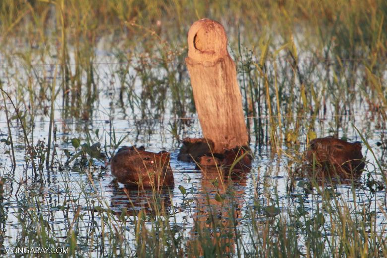 Several capybara swimming, including babies