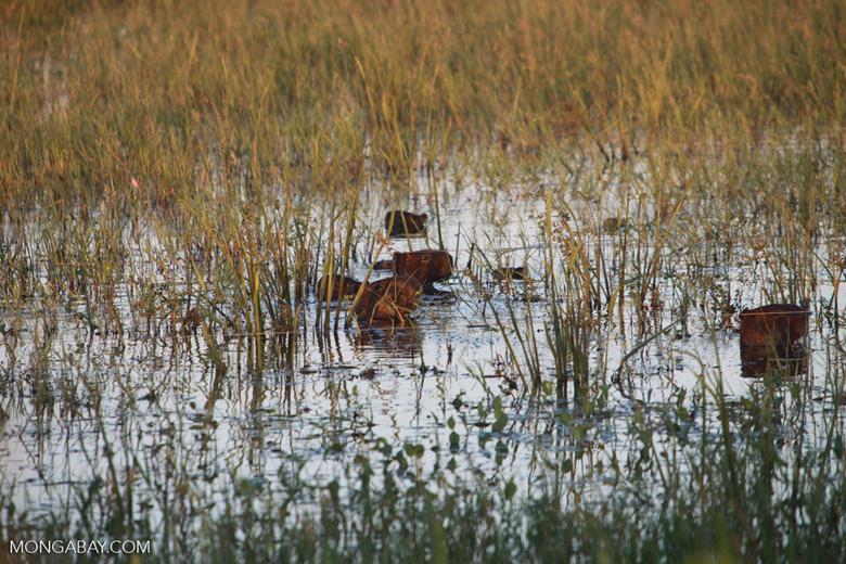 Several capybara swimming, including babies [brazil_1600]