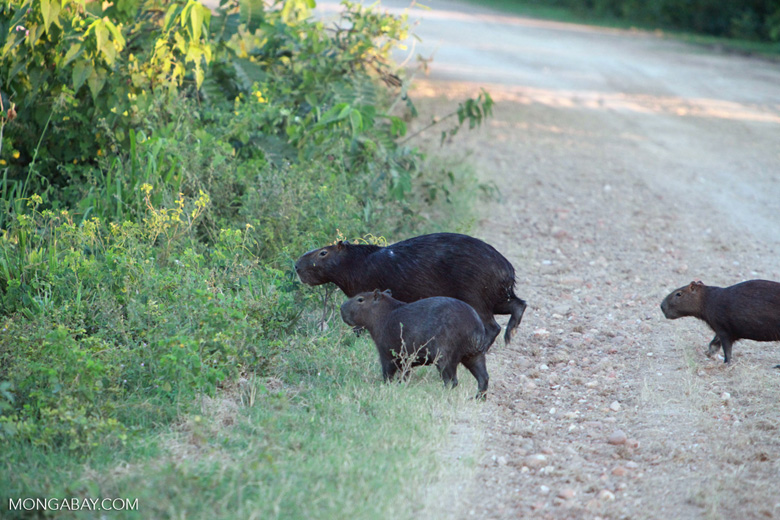 Capybara crossing a road [brazil_1602]
