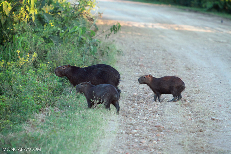 Capybara crossing a road [brazil_1603]