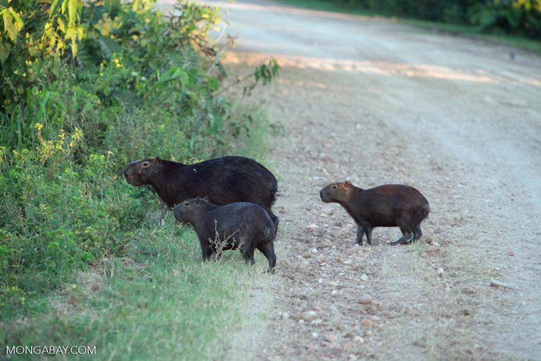 Capybara crossing a road [brazil_1604]