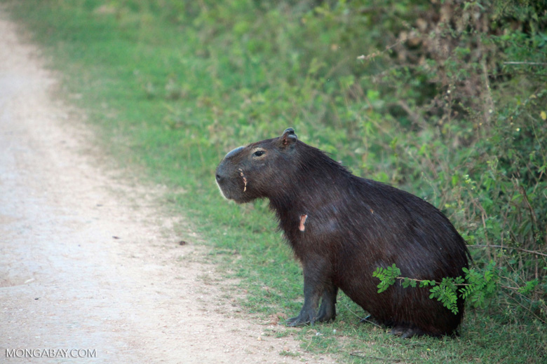 World's largest rodent: the capybara