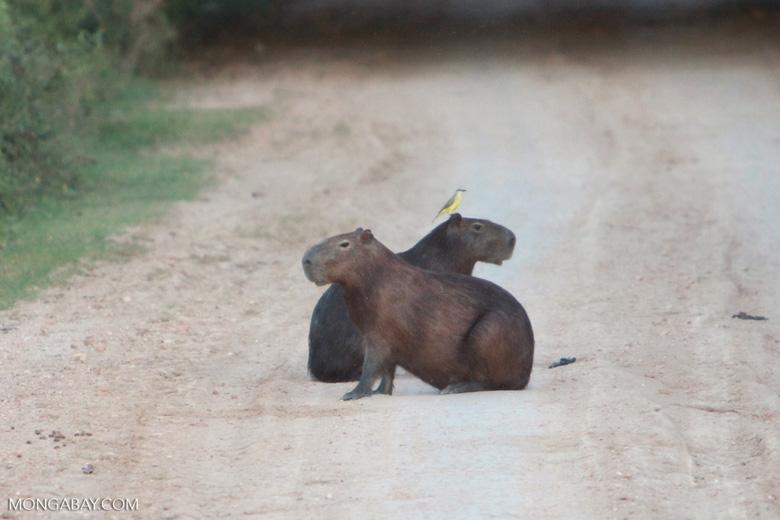 Capybaras [brazil_1617]