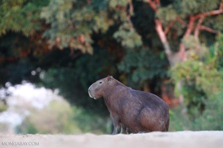 Capybara [brazil_1618]