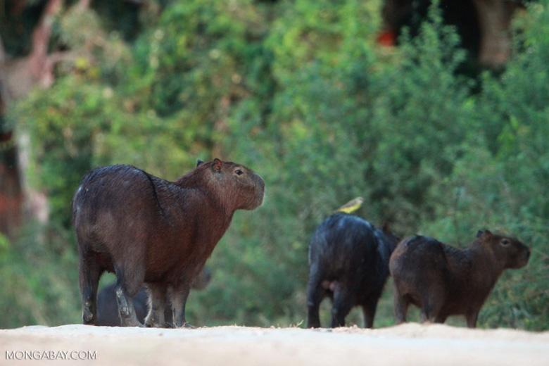 Capybaras [brazil_1625]