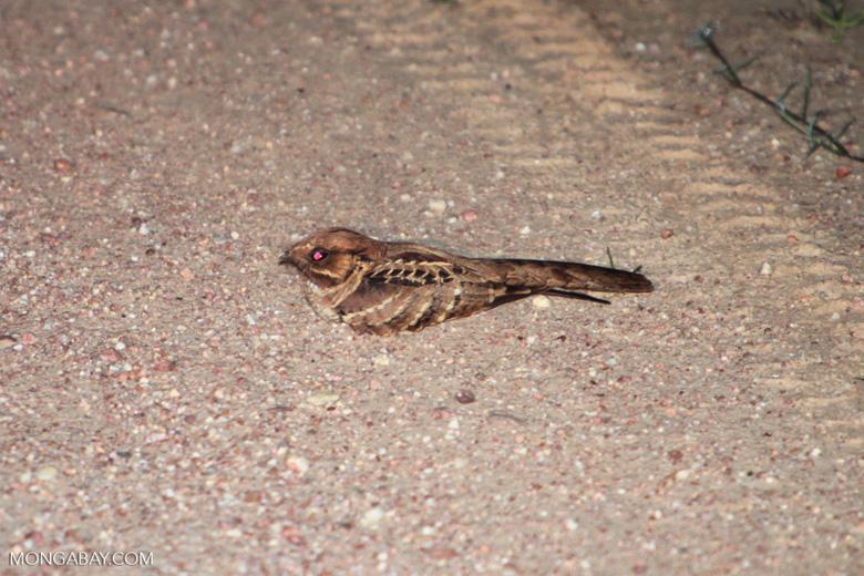 Scissor-tailed Nightjar (Hydropsalis torquata) [brazil_1635]