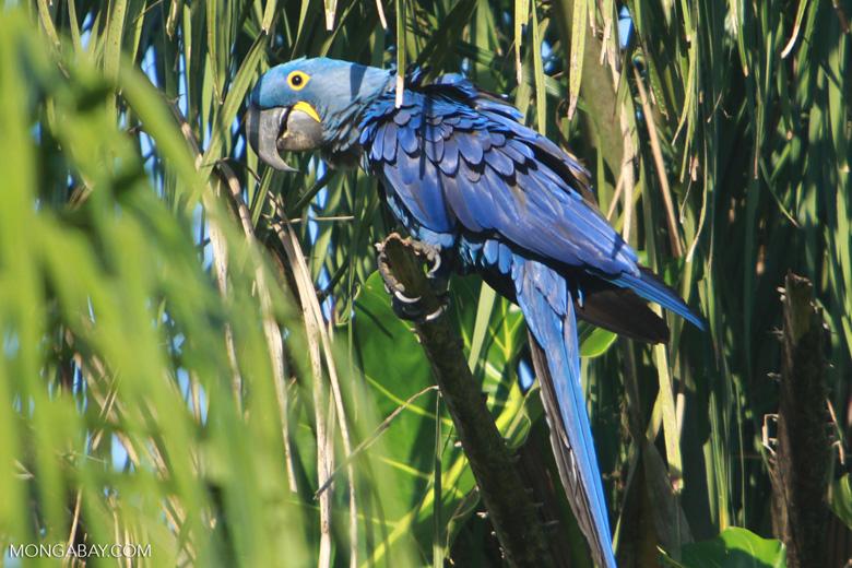 Hyacinth Macaw (Anodorhynchus hyacinthinus) [brazil_1644]
