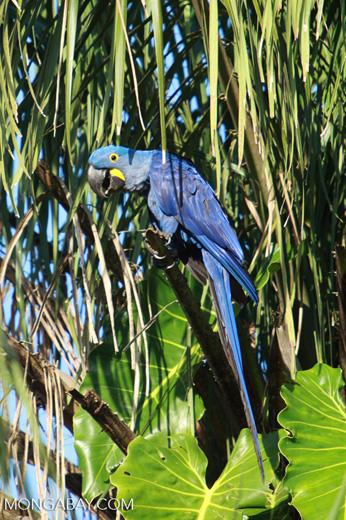 Hyacinth Macaw (Anodorhynchus hyacinthinus) [brazil_1645]