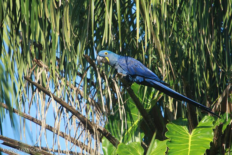 Hyacinth Macaw (Anodorhynchus hyacinthinus) [brazil_1651]