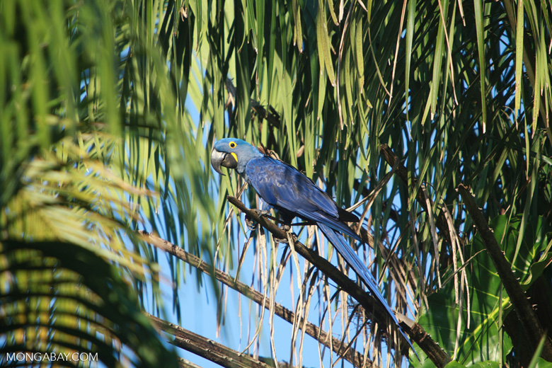 Hyacinth Macaw (Anodorhynchus hyacinthinus) [brazil_1653]