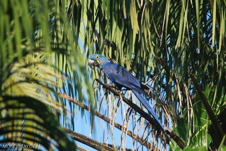 Hyacinth Macaw (Anodorhynchus hyacinthinus) [brazil_1654]